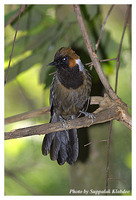 White-necked Laughingthrush - Garrulax strepitans
