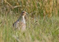 Gray Partridge (Perdix perdix) photo