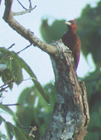 Scaly-breasted Woodpecker (Celeus grammicus) photo