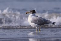 Great Black-headed Gull - Larus ichthyaetus
