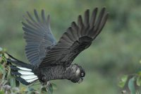 White-tailed Black-Cockatoo - Calyptorhynchus baudinii