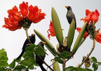 Finch-billed Myna - Scissirostrum dubium