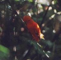 Guianan Cock-of-the-rock, male