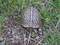 Image of Box Turtle