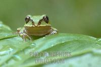Bocages tree frog facing camera stock photo
