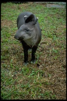 : Tapirus pinchaque; Mountain Tapir