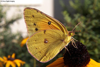 : Colias sp.; Orange Or Clouded Sulphur Butterfly