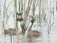 Podiceps cristatus Great Created Grebe カンムリカイツブリ
