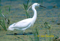 Photo of volavka stříbřitá, Egretta garzetta, Little Egret, Seidenreiher