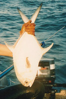 Trachinotus goreensis, Longfin pompano: fisheries