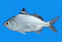 Eucinostomus currani, Pacific flagfin mojarra: fisheries, bait