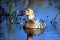 Aythya valisineria - Canvasback
