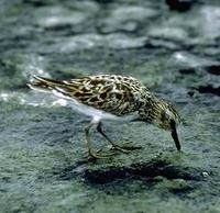 Image of: Calidris minutilla (least sandpiper)