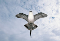 Photo: An arctic skua