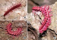 Shocking Pink Dragon Millipede - Desmoxytes purpurosea