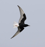 White-winged Tern (Chlidonias leucopterus) photo