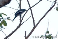 White-winged Cuckoo-shrike - Coracina ostenta