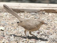 Bendire's Thrasher - Toxostoma bendirei