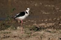 Black-necked  stilt   -   Himantopus  mexicanus   -   Cavaliere  collonero