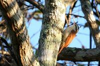 Narrow-billed  woodcreeper   -   Lepidocolaptes  angustirostris