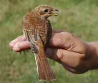 Red-backed Shrike (Lanius collurio), 1K