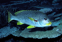 : Plectorinchus lineatus; Yellowbanded Sweetlips