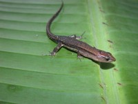 : Cercosaura ocellata; Black Striped Forest Lizard