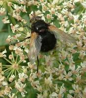 Tachina grossa - Giant Tachinid Fly