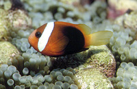Amphiprion melanopus, Fire clownfish: fisheries, aquarium