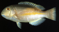 Choerodon zamboangae, Purple eyebrowed tuskfish: