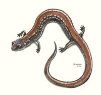 Image of: Plethodon cinereus (eastern red-backed salamander)
