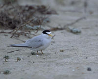 Image of: Sterna antillarum (least tern)