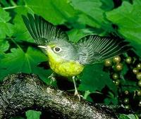Image of: Wilsonia canadensis (Canada warbler)