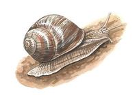 Image of: Helix pomatia (escargot)