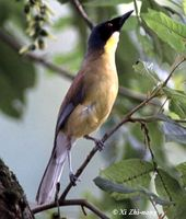 Yellow-throated Laughingthrush - Garrulax galbanus