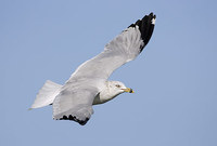 Ring-billed Gull (Larus delawarensis) photo