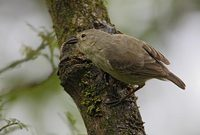 Woodpecker Finch (Camarhynchus pallidus) photo