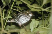 Striated Antthrush (Chamaeza nobilis) photo