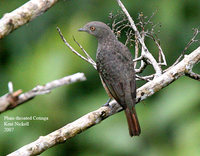 Purple-throated Cotinga - Porphyrolaema porphyrolaema