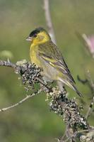 Black-chinned Siskin - Carduelis barbata
