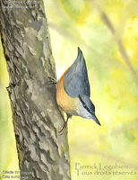 Sittelle torchepot - Sitta europaea - Wood Nuthatch - photo de Pierrick Legobien