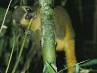 Golden Bamboo Lemur Hapalemur aureus eating a branch shoot