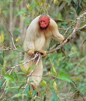 White bald-headed uakari (Cacajao calvus calvus)