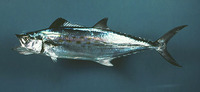 Scomberomorus maculatus, Spanish mackerel: fisheries, gamefish