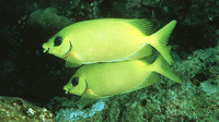 Siganus puelloides, Blackeye rabbitfish:
