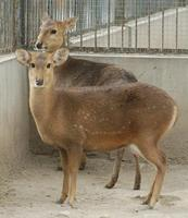 Image of: Axis porcinus (hog deer)