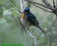 Blue-throated Flycatcher - Cyornis rubeculoides