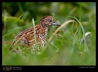 Barred Buttonquail - Turnix suscitator