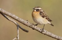 Whinchat (Saxicola rubetra) photo