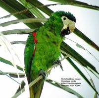 Red-shouldered Macaw - Diopsittaca nobilis